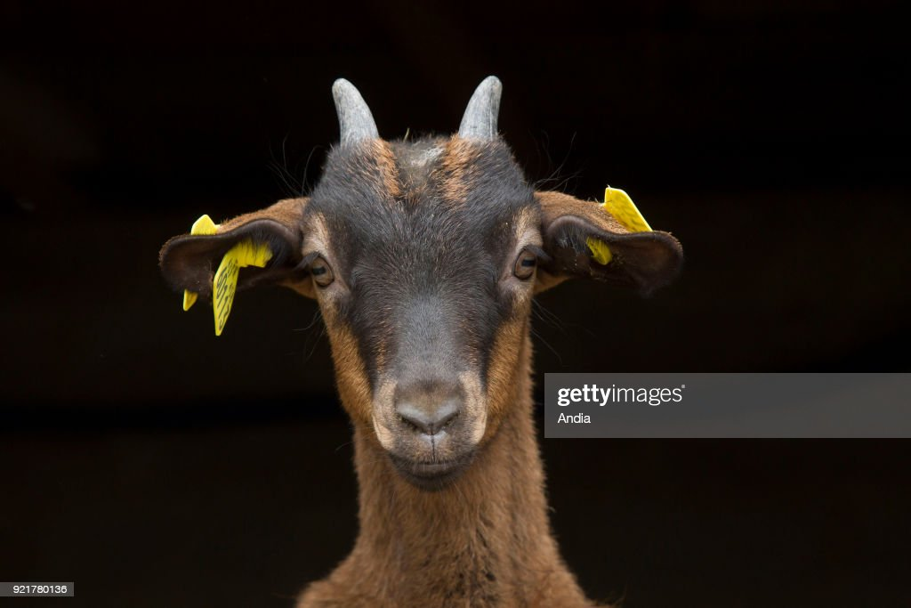 Two goats on a black background.