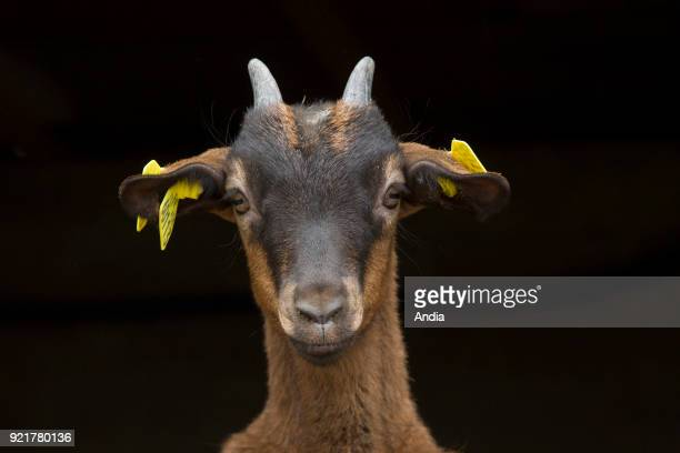 Two goats on a black background