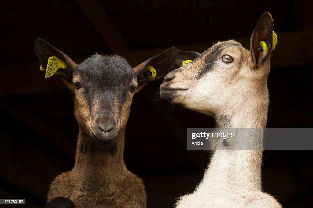 Goats. : News Photo