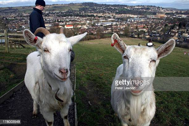 Two goats stand atop a hill overlooking Bath.