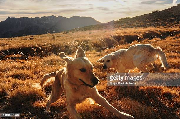 Two golden retriever dogs playing in mountains