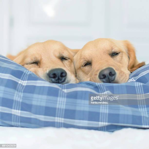 Two golden retriever dogs sleeping on a bed