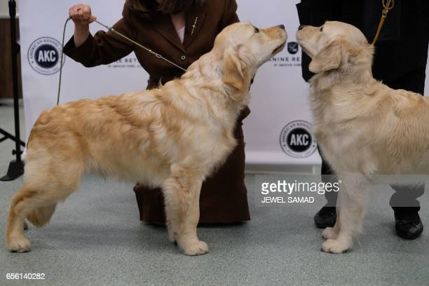 Two Golden Retrievers are pictured during a press conference by the American Kennel Club in New York on March 21 to announce America's top ten most...