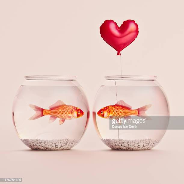 two goldfish each in own bowl looking at one another, one holding a red heart balloon - fish love stockfoto's en -beelden