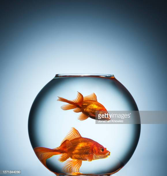 two goldfish in fishbowl - bowl stock pictures, royalty-free photos & images