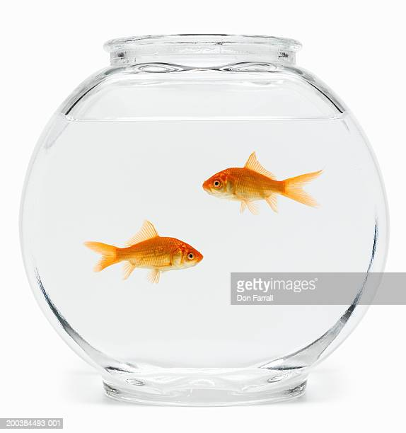 Two goldfish (Carassius auratus) in fishbowl, side view