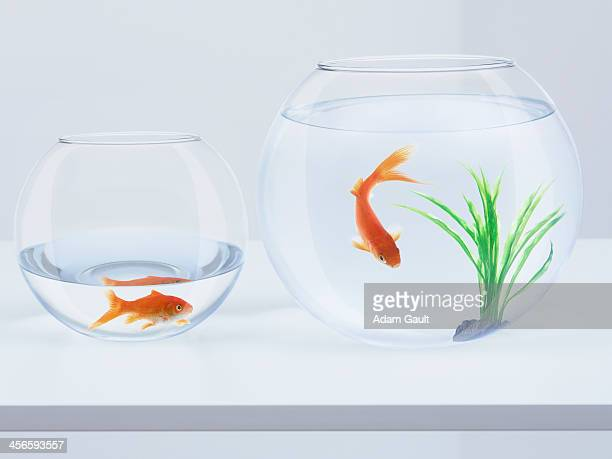 Two goldfish in goldfish bowls