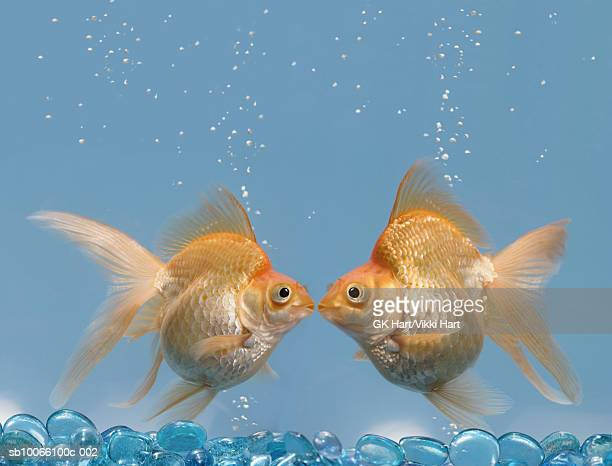Two goldfish kissing underwater, close-up