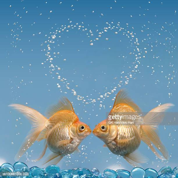 two goldfish kissing underwater, close-up - fish love stock photos and pictures