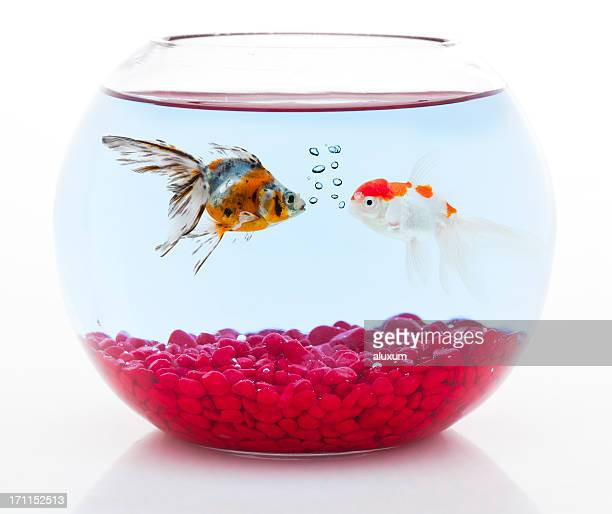 two goldfishes having a conversation