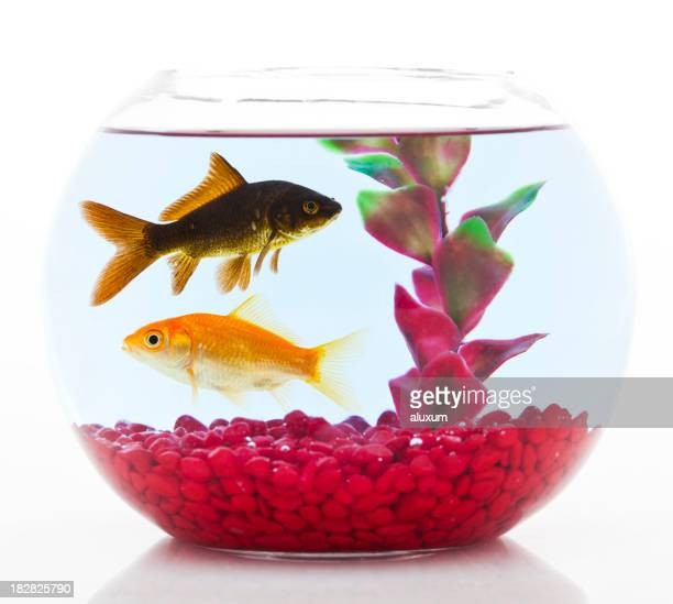 two goldfishes in fishbowl