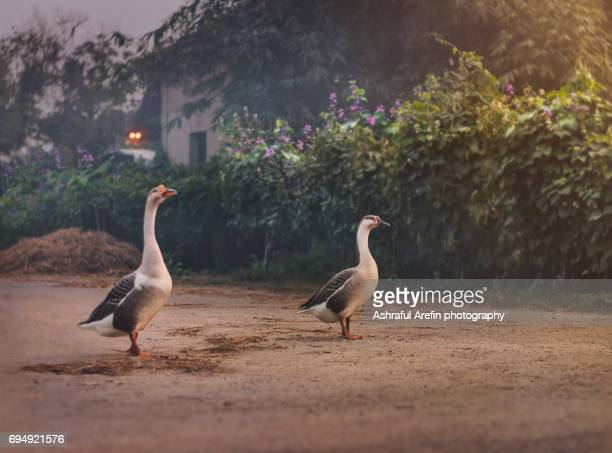 Two goose duck standing in a country home yard