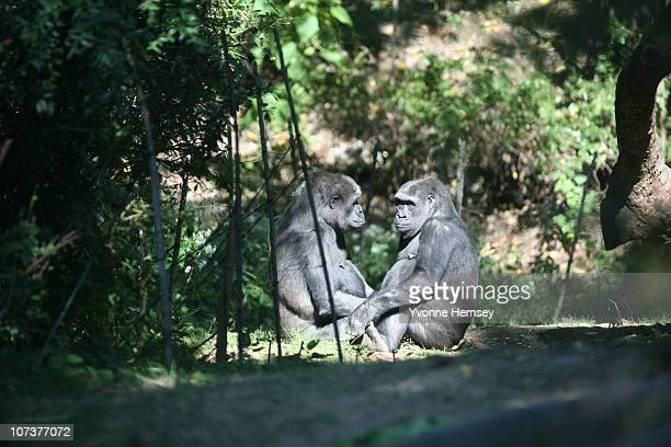 Two gorillas are sit at the Bronx Zoo's Congo Gorilla Forest Exhibit October 17 2010 in the Bronx borough of New York City