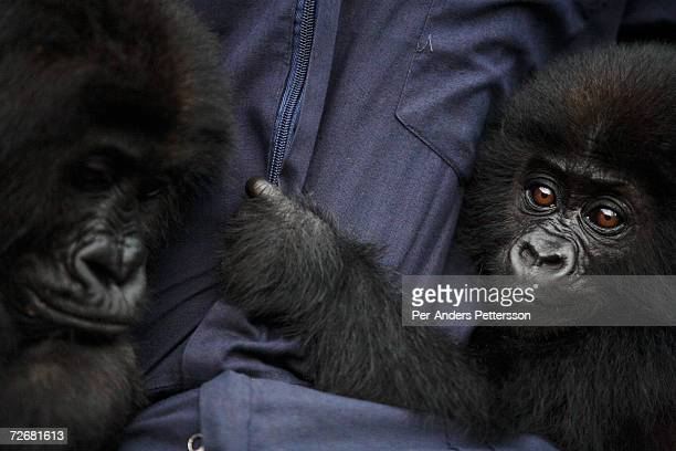Two Gorillas rests comfortably with a handler at The Dian Fossey Gorilla Fund International Center on September 30 2006 in Goma DRC The center runs...