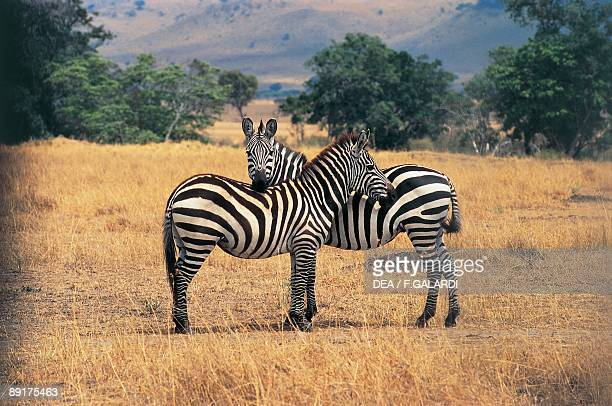 Two Grant's zebras in the forest Masai Mara National Reserve Kenya