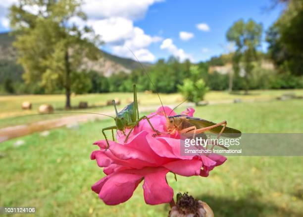 two grasshoppers feed on a fresh pink rose in bavaria, germany - grasshopper stock pictures, royalty-free photos & images