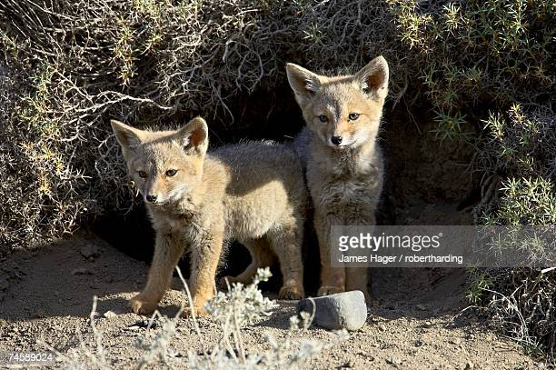 two gray fox pups (patagonian fox) (pseudalopex griseus) at den entrance, torres del paine, chile, south america - gray fox stock photos and pictures