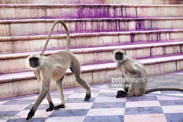 CONTENT] Two gray langurs resting on the ghats of Pushkar after the colorful Holi festival held on march 1st 2010 leaving the purple color on the...