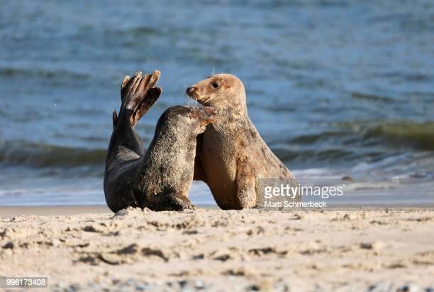 Two gray seals (Halichoerus grypus), Heligoland, Schleswig-Holstein, Germany