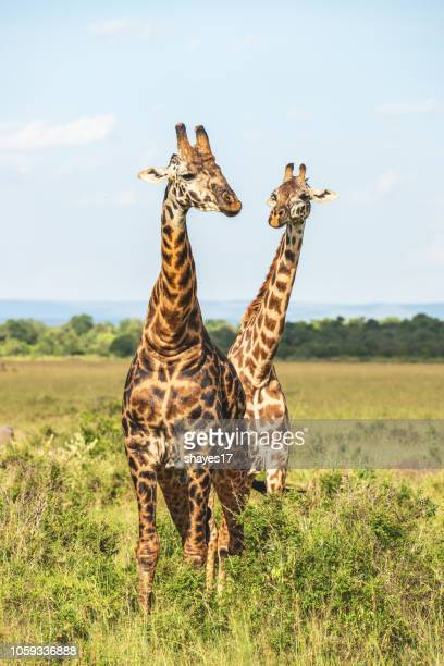 two grazing giraffe - giraffe stock pictures, royalty-free photos & images
