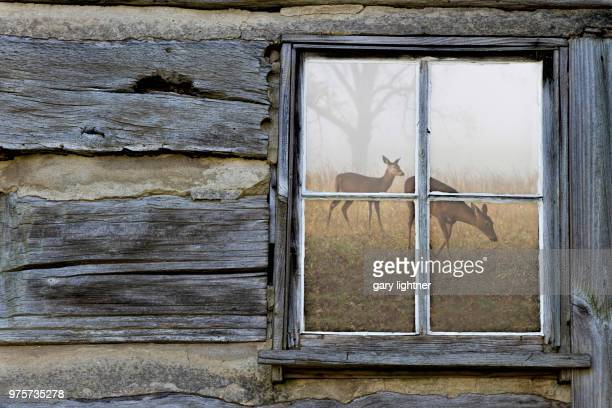two grazing roe deer reflecting in window of old wooden house, cades cove, north carolina state, usa - cades cove stock pictures, royalty-free photos & images