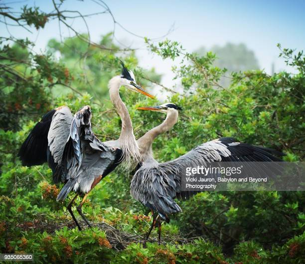 Two Great Blue Heron in Mating Dance at Venice Rookery