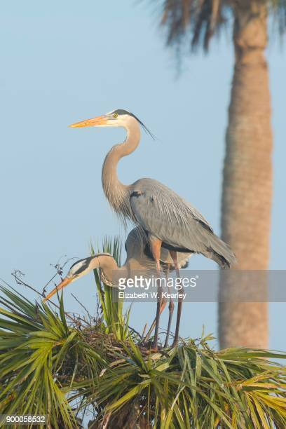 Two Great Blue Herons on a Nest