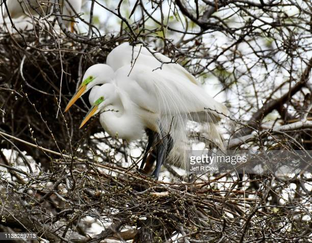 two great egrets in the trees at the rookery in dallas - rookery stock pictures, royalty-free photos & images