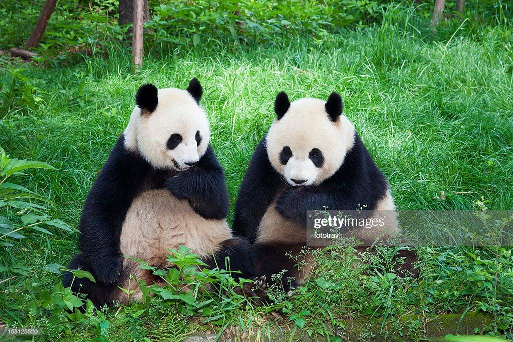 パンダ遊ぶ 2 つの四川省、成都、中国 : ストックフォト