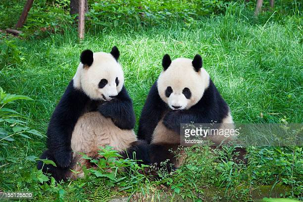 Two Great Pandas playing together - Chengdu, Sichuan Province, China