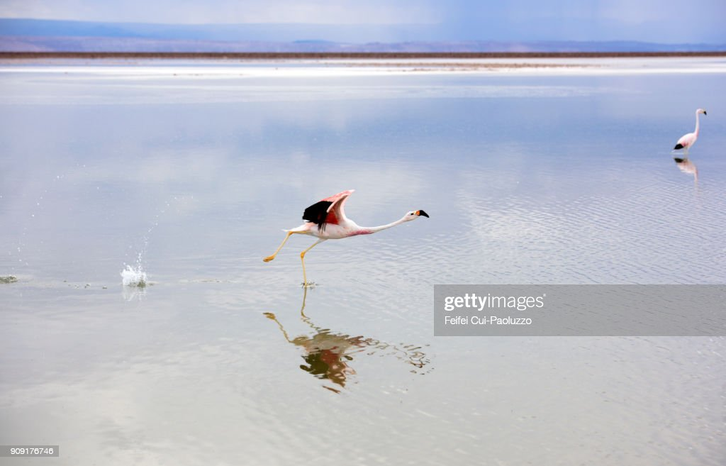 Two greater flamingos at Laguna Chaxa, Los Flamencos National Reserve, Chile : Stock Photo