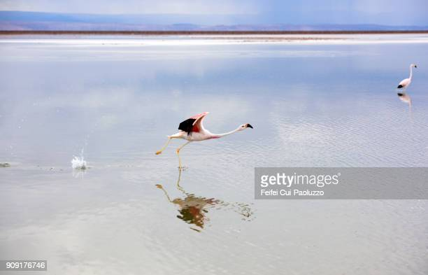 Two greater flamingos at Laguna Chaxa, Los Flamencos National Reserve, Chile