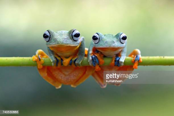 Two green flying frogs (Rhacophorus reinwardtii) sitting on a plant, Indonesia
