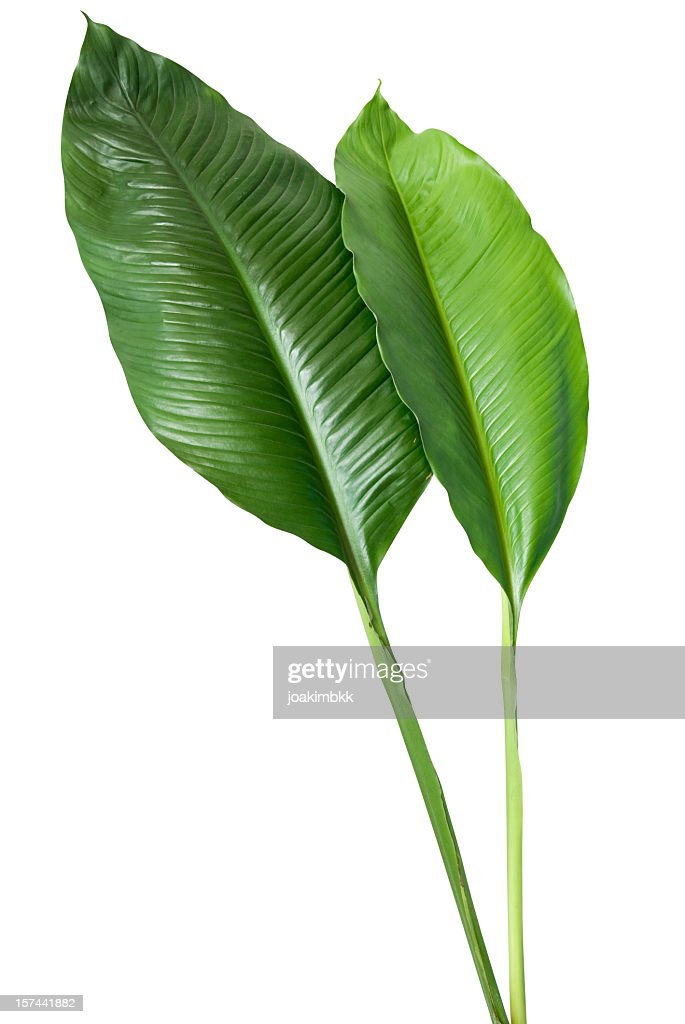 Two green leaves on white background : Stock Photo