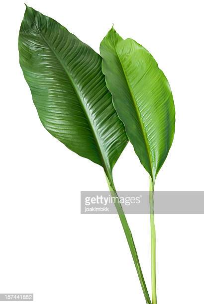 two green leaves on white background - lush stock pictures, royalty-free photos & images