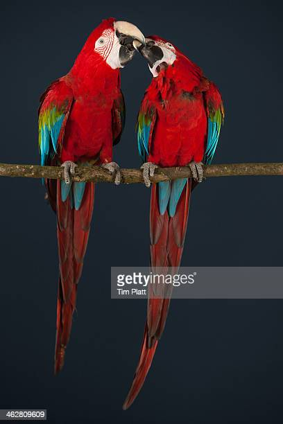 Two scarlet Macaws on a perch.