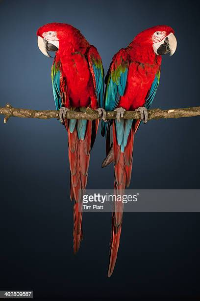 Two Scarlet Macaws perched on a branch.