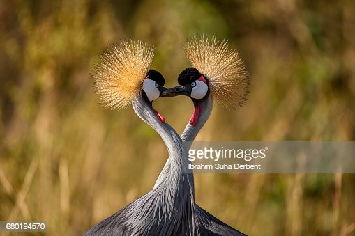 Two grey crowned cranes has neck like heart shape