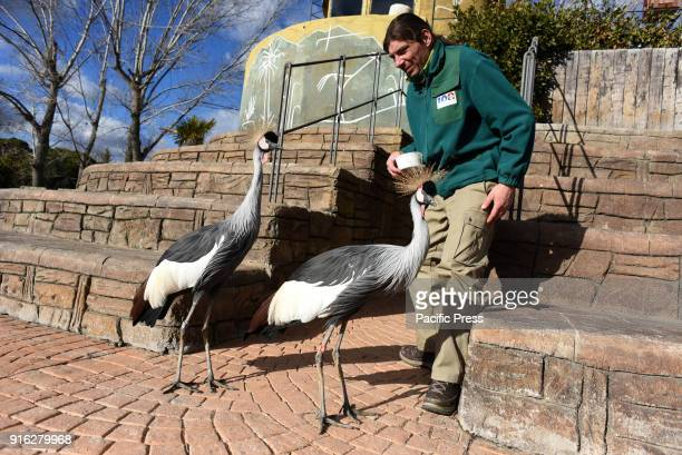 Two grey crowned cranes pictured with one of their keepers at Madrid zoo