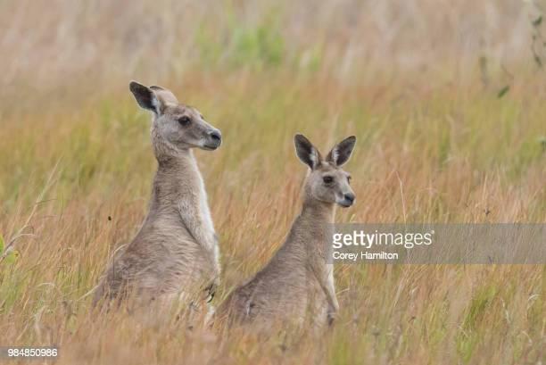 two grey kangaroos in the outback, australia. - kangaroo stock pictures, royalty-free photos & images