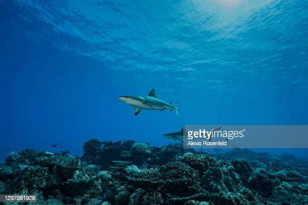 Two grey reef sharks patrol the coral reefs of Rikitea on February 19 Gambier Archipelago, French Polynesia, Pacific Ocean. Carcharhinus...