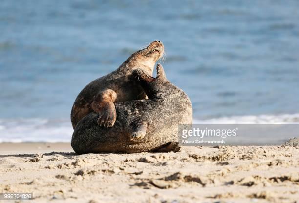 Two Grey Seals (Halichoerus grypus) on the beach, Heligoland, Schleswig-Holstein, Germany