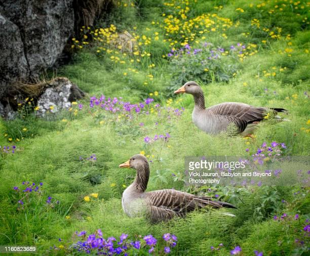 two greylag geese at thingvellir national park, iceland - グレイグース ストックフォトと画像