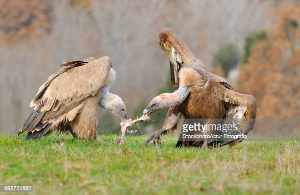 Two griffon vultures fighting over carrion. in the meadow.