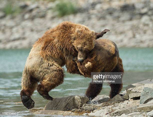 Two Grizzly bears fighting.