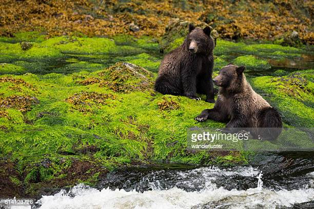 Two grizzly bears in mossy rainforest