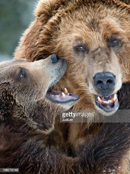 Two Grizzly Bears in Winters