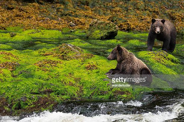 Two grizzly bears on mossy riverbank