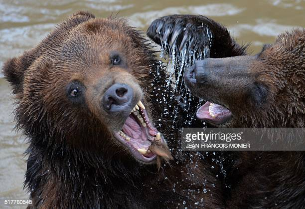 Two grizzly bears play in their pool at the zoo in La Fleche northwestern France on march 27 2016 MONIER