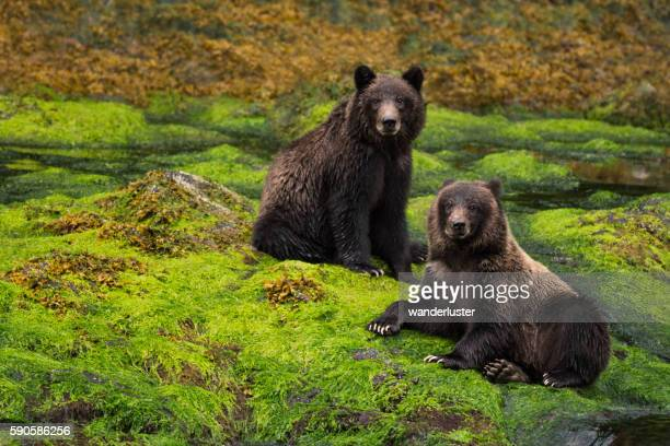 Two grizzly cubs sit in a green rainforest